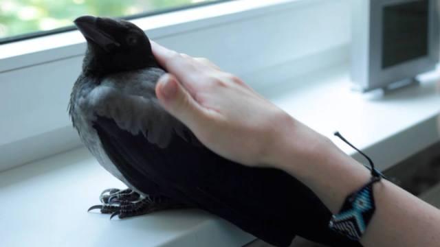 Wenn man polyphasisches Schlafen macht, hat man mehr Zeit für simple Dinge: wie z.B. für Krähen, die eine besuchen kommen.